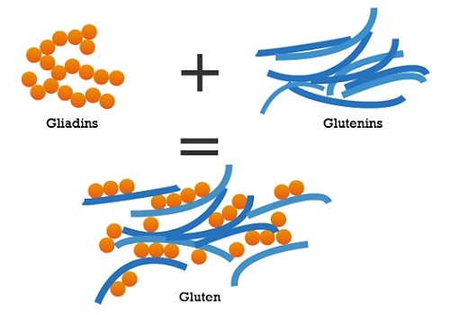 glutenins and gliadins
